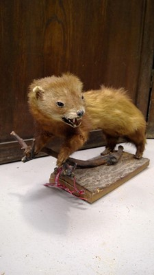 Lot 13 - A taxidermied weasel, length approx 33cm.
