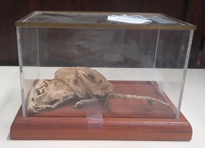 Lot 20 - A mummified rat in a glass display case,with...