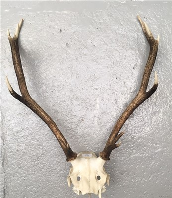 Lot 4-A pair of antlers with scull.